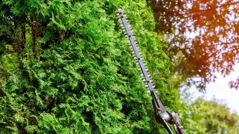 Tall shrubs being cut by a pole hedge trimmer