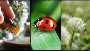 Three types of organic pest control shown - essential oils, ladybugs and clover