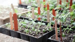 Rows of seedling trays with young vegetable sprouts growing indoors