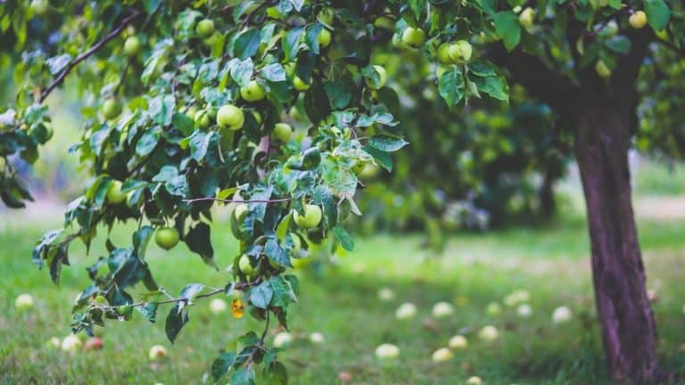Apple tree with green apples on branches