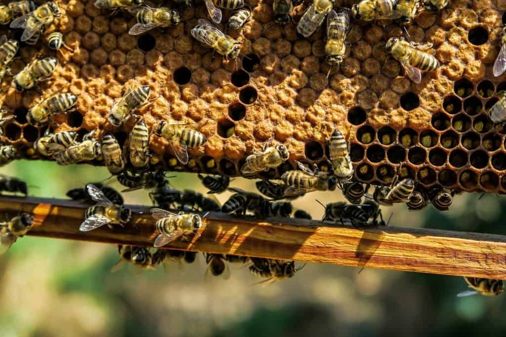 bees around an active honeycomb and manmade beehive