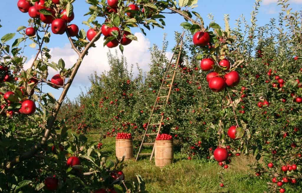ripe apple trees in orchard with barrels filled with picked apples