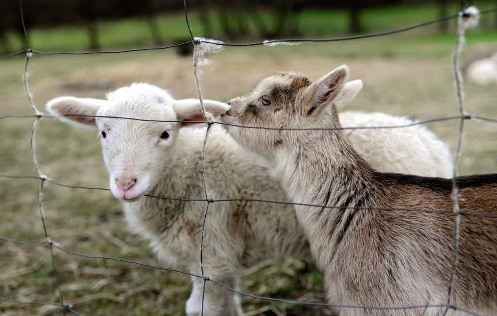 young goat making friends with a young sheep behind wire fencing on the farm
