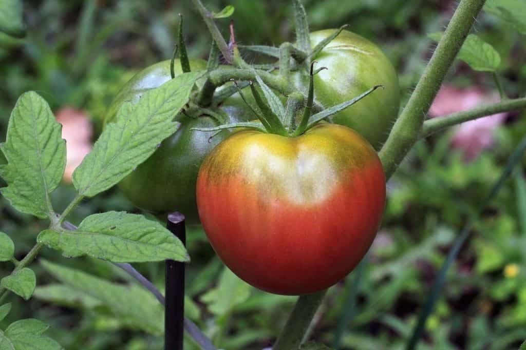 heirloom tomatoes growing on the vine