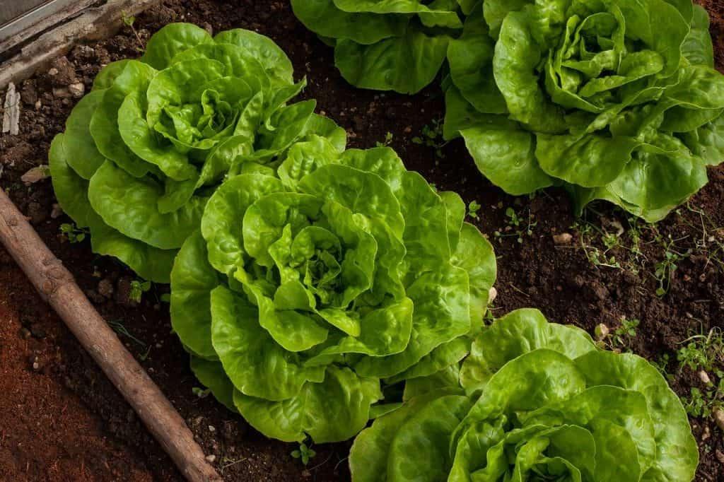 green lettuce heads growing in rows