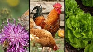Collage-Bees-Butterflies-Chickens-Lettuce-on-Farm