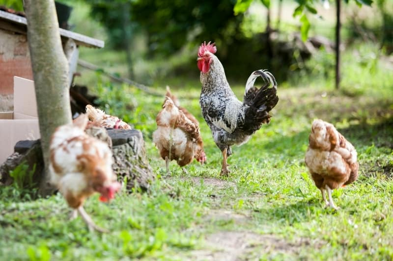 four chickens and a rooster foraging for a meal