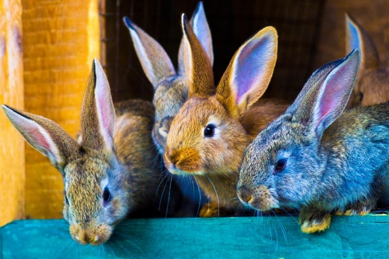 four rabbits looking out of their hutch