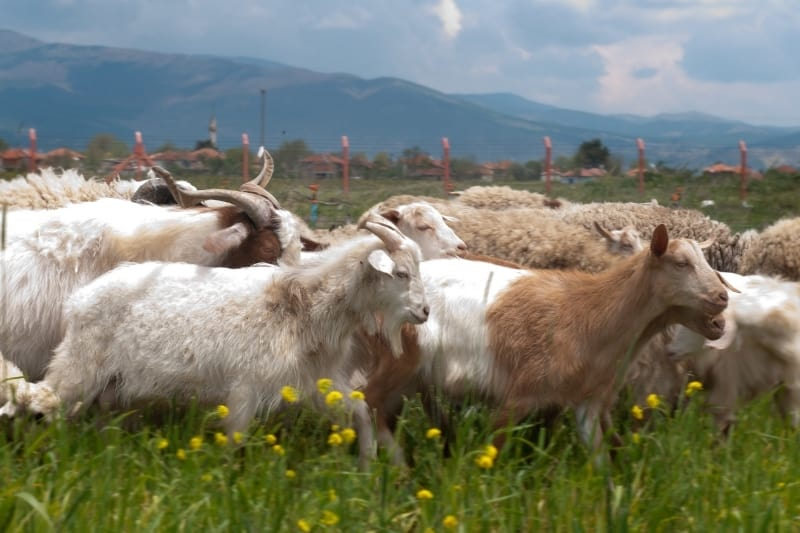 herd of goats in a field with yellow flowers