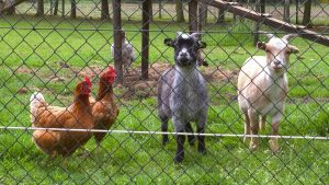 goats and chickens on the farm